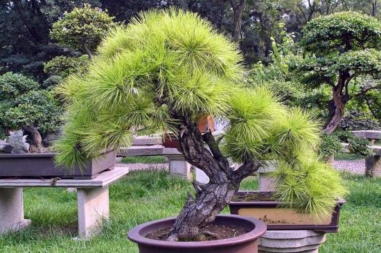 карликовых деревьев 2