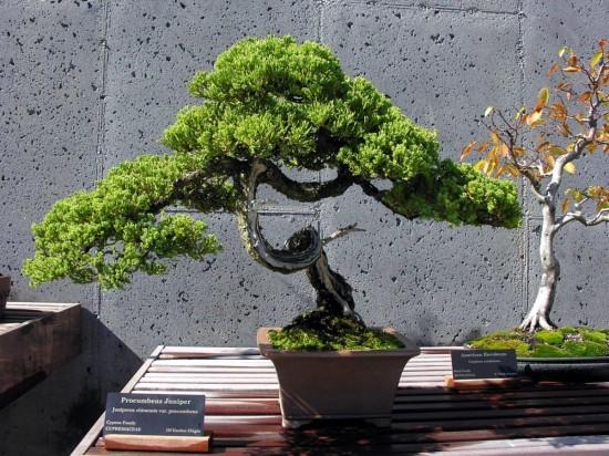 карликовых деревьев 3