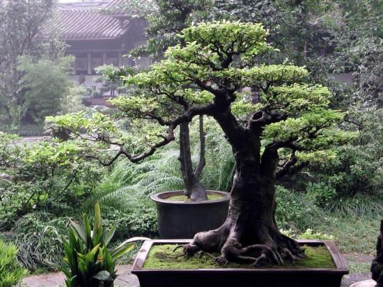 карликовых деревьев 5