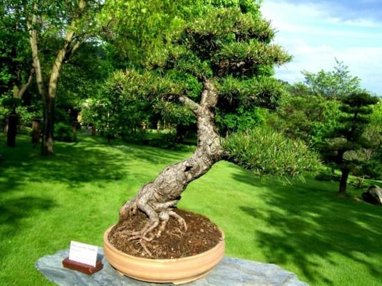 карликовых деревьев 6