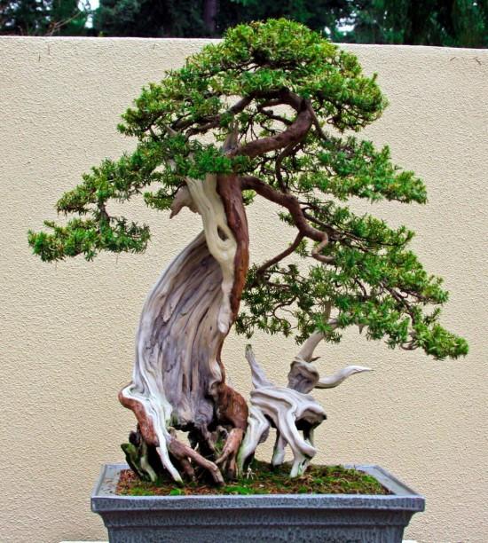 карликовых деревьев 7